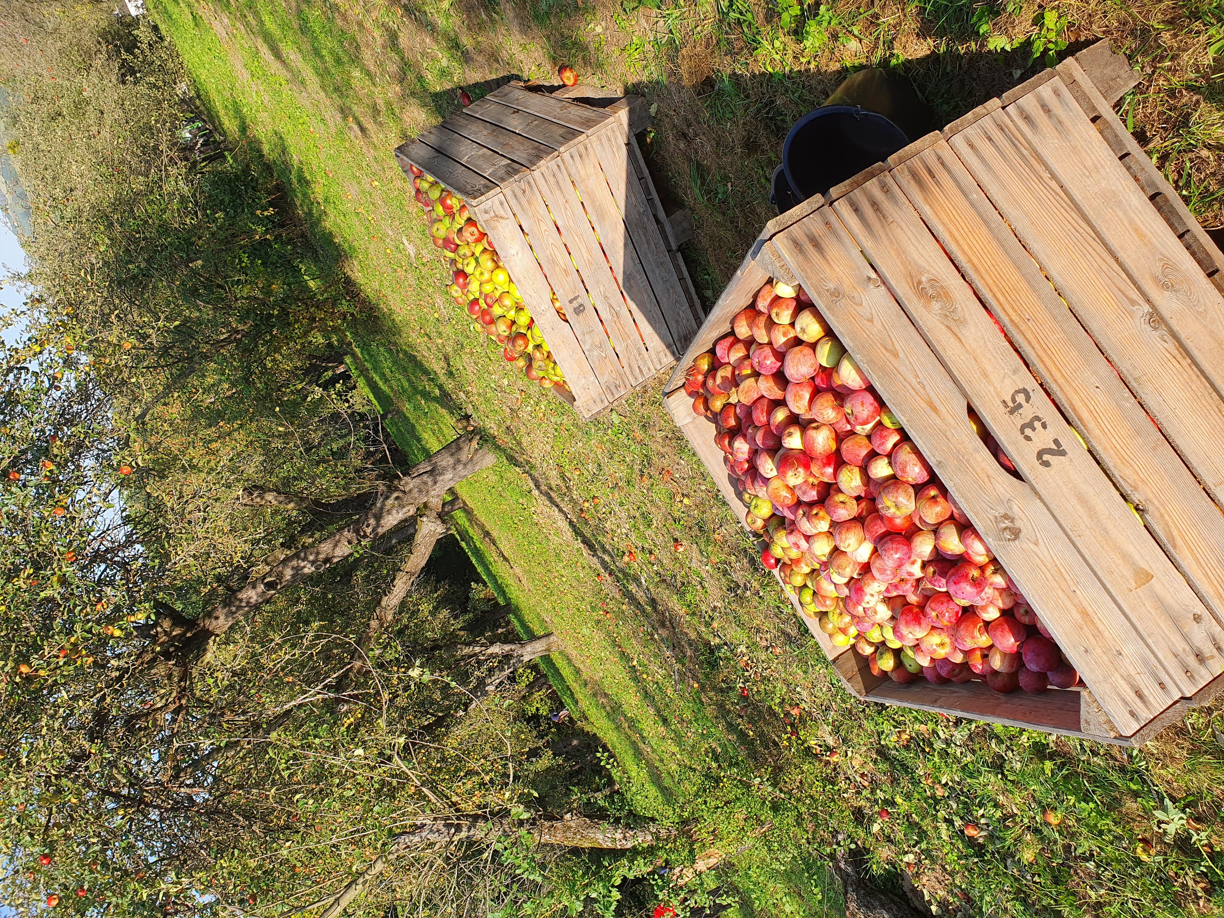 Apfelernte Streuobstanlage