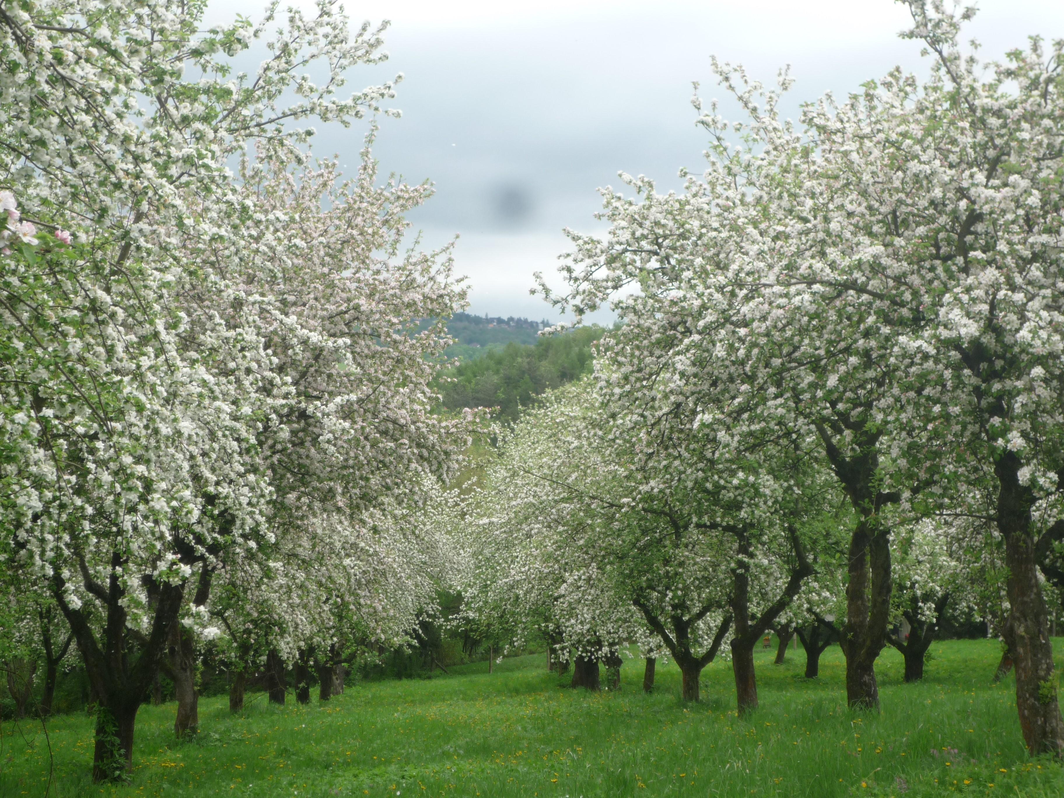 Streuobstanlage in Blüte