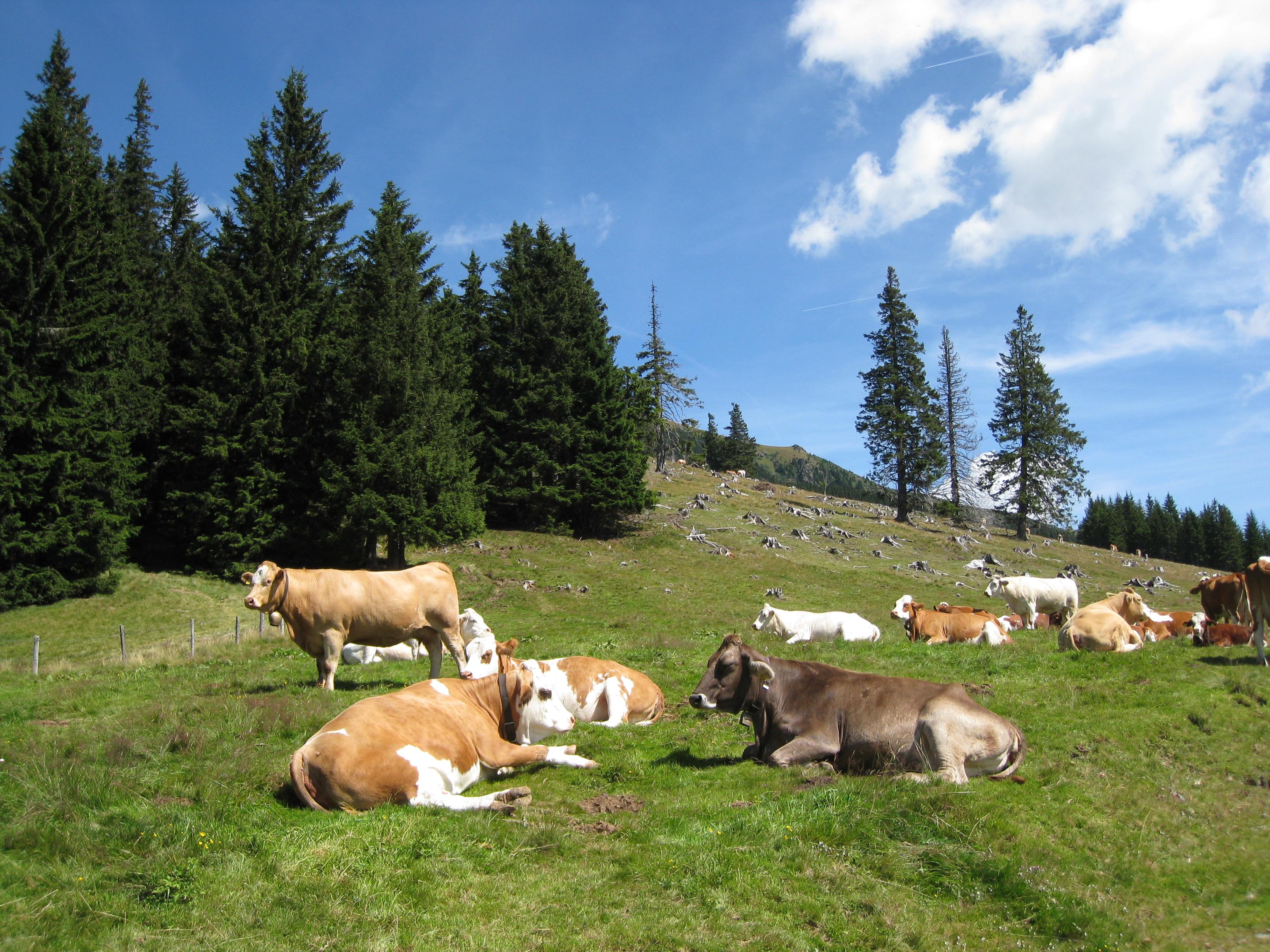 Tierwohl - liegende Rinder auf einer Alm-Weidefläche