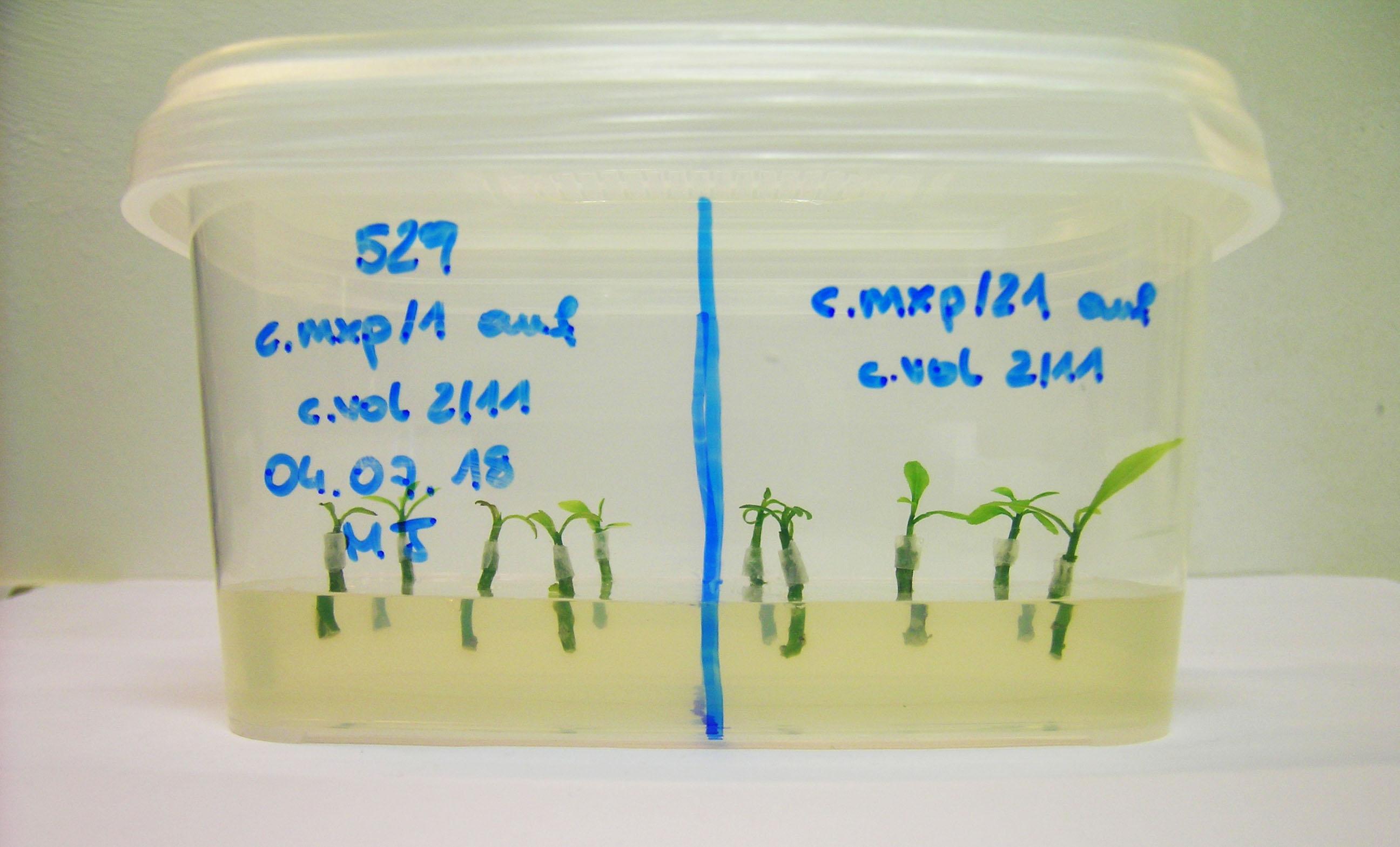 Bewurzelungsbox mit Veredelungen. Das Bild zeigt je 5 veredelte Mikrostecklinge der Subklone 1 und 21 auf einem gelierten Bewurzelungsnährboden. Die Veredelungsstelle ist versiegelt.