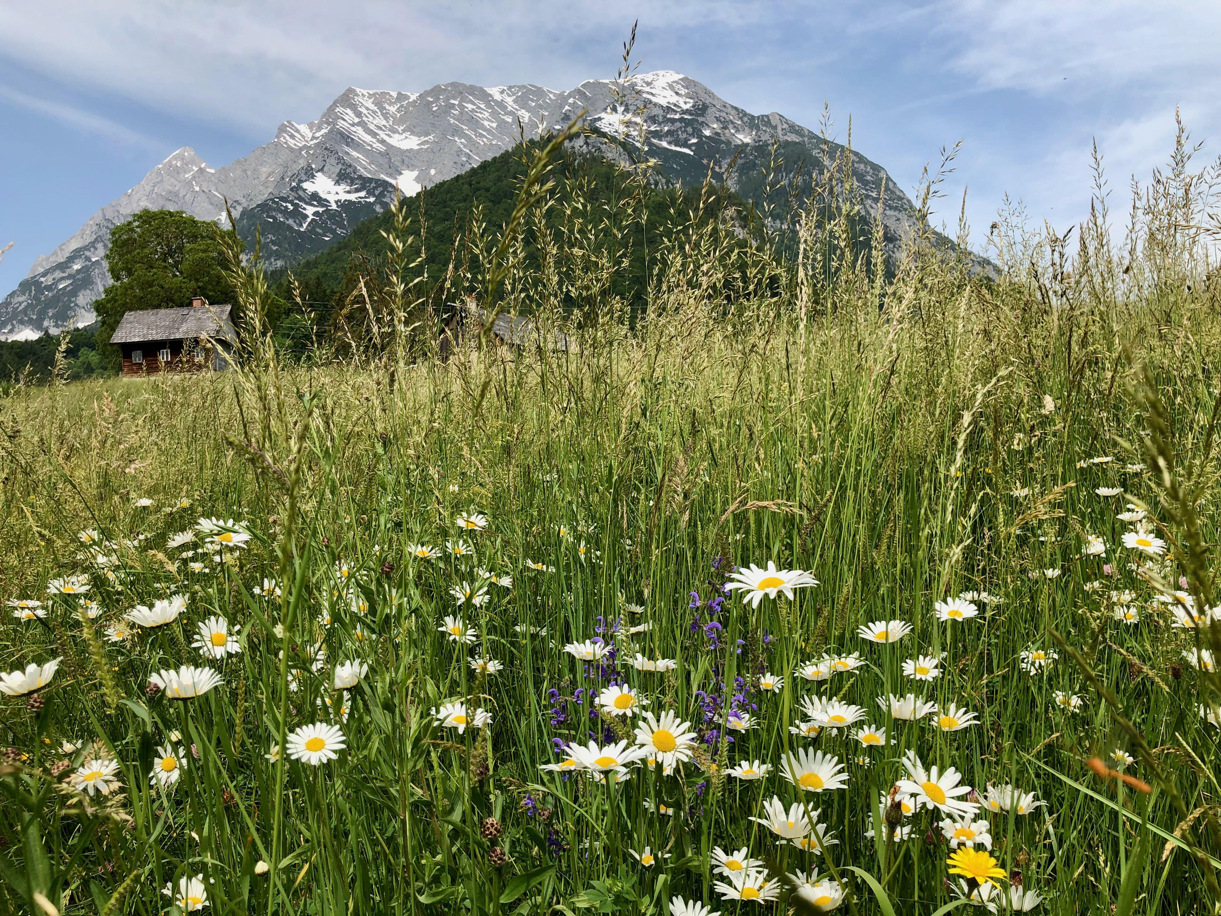 Extensive zum ersten Aufwuchs mit Margeriten, Wiesensalbei und Glatthafer. Im Hintergrund ist der Bergstock des Grimming ersichtlich.