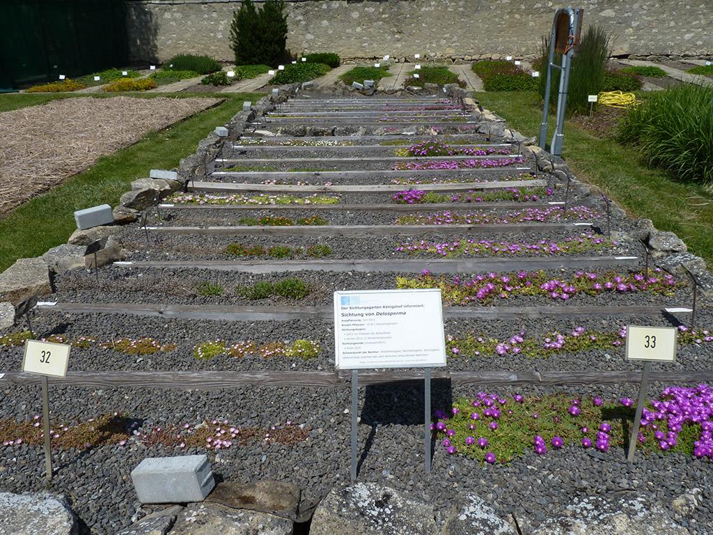 Das Foto zeigt das Versuchsbeet der Delosperma-Arten und Sorten Mitte Juni 2013 am Standort Königshof. Viele Arten und Sorten blühen, die Blüten sind auf dem Bild aber nur sehr klein zu sehen.