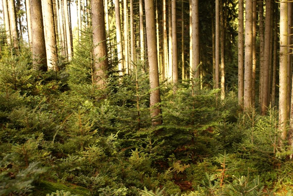 Die Weißtanne gewinnt im Klimawandel an Bedeutung; ihr Genom wurde in diesem Projekt sequenziert.