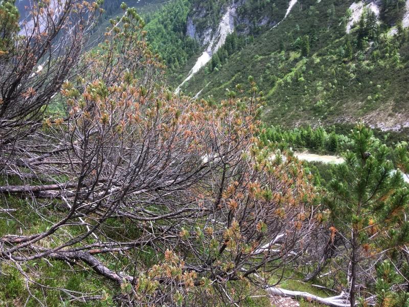 An der Pilzkrankheit Lecanosticta acicola erkrankte Bergföhre im Karwendelgebirge