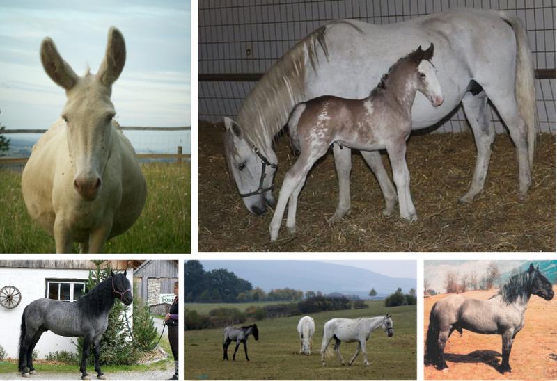Seltene Farbphänotypen beim Lipizzaner, Noriker und Esel
