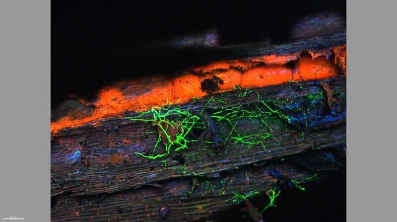 Fluoreszenzmikroskopische Aufnahme von Rebholz, das durch Phaeomoniella chlamydospora GFP besiedelt wurde