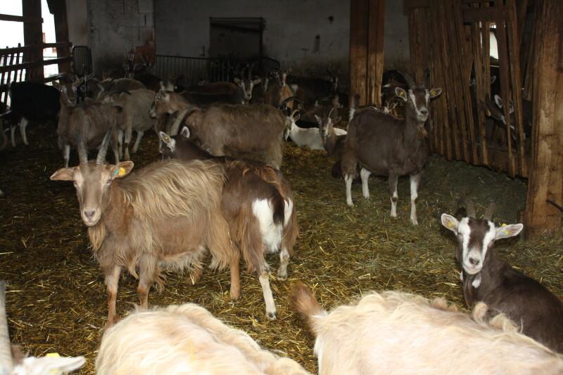 Ziegenmilchherde im Waldviertel