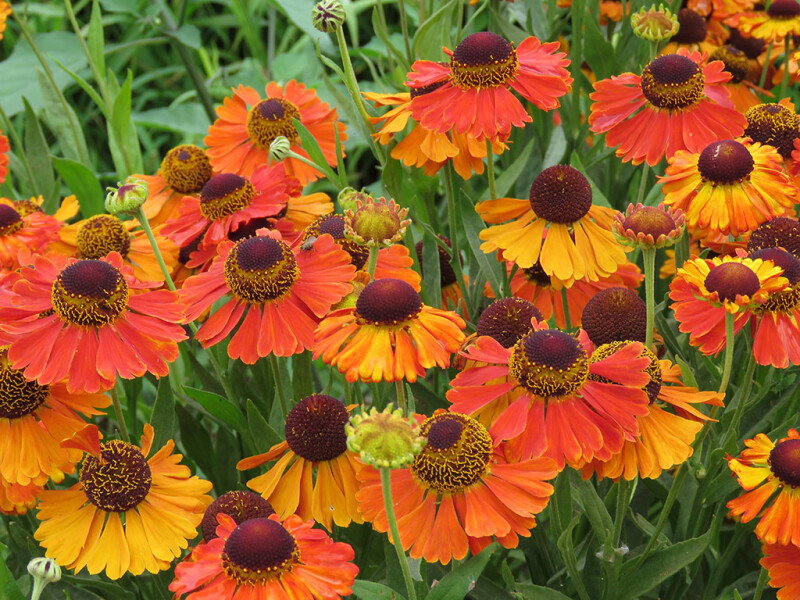 Helenium Sahins Early Flowerer in voller Blüte Ende Juni