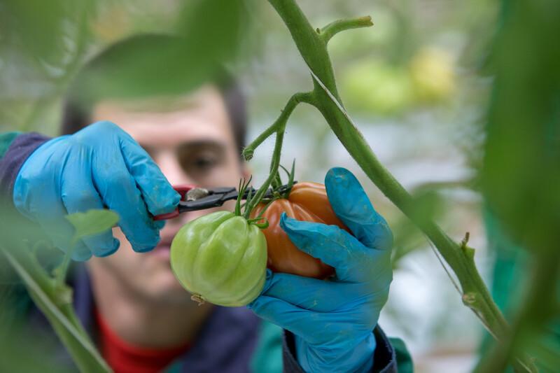 Tomatenernte mit MmB von Tagesstrukturen im Wiener Gartenbaubetrieb