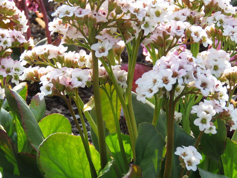 Weiße Blütenstände von Bergenia 'Bressingham White' Anfang April 2017