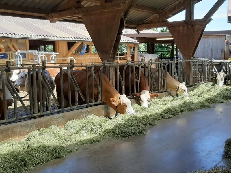 Milchviehbetrieb in Salzburg