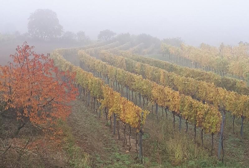 Weingarten im Retzerland