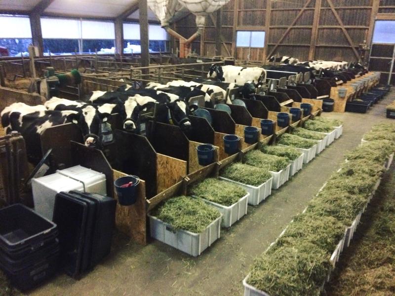 Titelbild, aufgenommen von Andreas Haselmann, Kühe während eines Fütterungsversuches